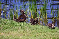 Ducks sitting on the edge of pond royalty free stock photos