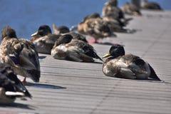 Ducks on a pier. Ducks sitting on a pier. Lake wildlife. Peaceful background Royalty Free Stock Photos