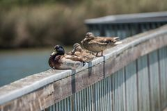 Ducks sitting in a row on a pier. Ducks sitting in a row on the pier Royalty Free Stock Photos