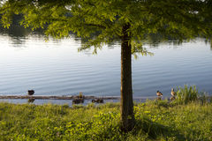 Ducks sitting on the shore. Ducks sitting on the lake shore in a summer sunny day Royalty Free Stock Photos