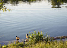 Ducks sitting on the shore Royalty Free Stock Photos