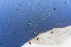Ducks are sitting on the snowy bank of a river in winter royalty free stock photography