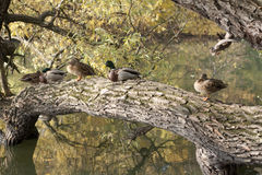 Ducks. Sitting on a tree above water Stock Photos
