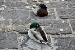 Ducks sleep in Luzern Stock Image