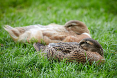 Ducks sleeping in the green grass with the heads stuck in the fe Royalty Free Stock Image