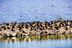 Ducks sleeping on a levee, Sunnyvale, south San Francisco bay area, California royalty free stock images