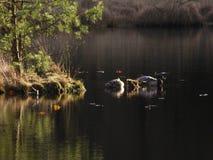 Ducks sleeping Stock Image