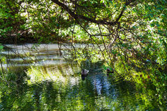 Ducks in small forest pond in summer Stock Images