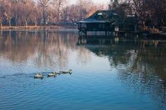 Ducks on a small lake at sunny morning near Belgrade. Serbia Stock Photos