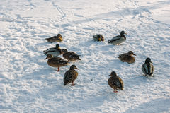 Ducks on snow Royalty Free Stock Images