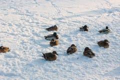 Ducks on snow Stock Photo