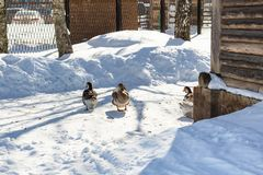 ducks on snow-covered yard in Suzdal town stock photo