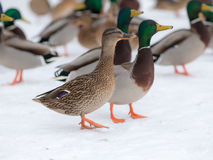 Ducks on snow. Flock of ducks on snow in winter Royalty Free Stock Images