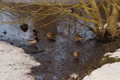 Ducks on the snow, in front of an ice-cold lake. With an icy water. It is in the day and in winter season. Shooting without character, outdoor. Pond of the Stock Image