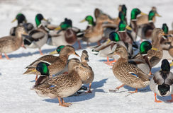 Ducks on the snow. Large flock of ducks on the snow Royalty Free Stock Photos