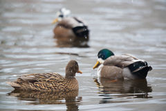 Ducks in snow Stock Photography