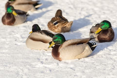 Ducks on snow in the winter. Flock of ducks on snow in the winter Stock Image
