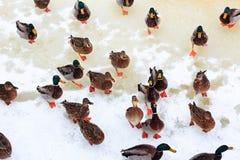 Ducks on snow in winter. Stock Photo