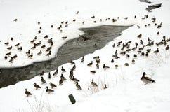 Ducks snow in winter near frozen river water flow. Lots of ducks on snow in the winter near frozen river water flow Stock Photography