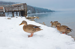 Ducks on the snow Royalty Free Stock Photo