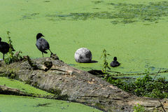 Ducks and soccer ball in a pond. Ducks and a soccer ball in a pond with duckweed or waterlins Royalty Free Stock Photos
