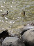 Ducks sparkling water. Fishing ducks sparkling water Wisconsin Royalty Free Stock Photography