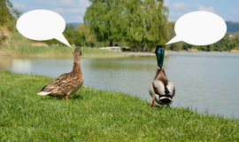 Ducks with a speech bubbles. Ducks walking at the riverside on the green grass and speaking with cartoon bubbles Stock Photography
