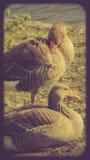 Ducks on St. Jame`s park Stock Photo