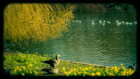 Ducks on St. James`s park, London Royalty Free Stock Image