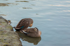 Ducks stand on riverbank. Stock Images