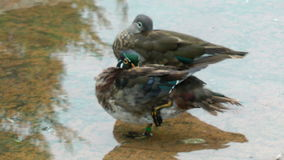Ducks stand. Two ducks lazy on edge of the lake stock video footage