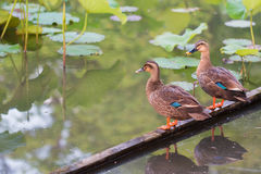 Ducks stand on wood bar and finding food on pond. Royalty Free Stock Photo