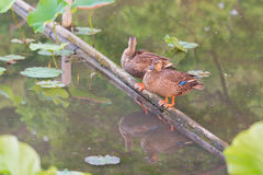 Ducks stand on wood bar and finding food on pond. Stock Photos