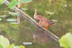 Ducks stand on wood bar and finding food on pond. Stock Images