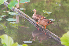 Ducks stand on wood bar and finding food on pond. Stock Image