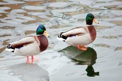 Ducks standing on an ice floe Stock Photo