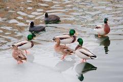 Ducks standing on an ice floe Stock Photos