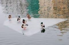 Ducks standing on an ice floe Stock Photography