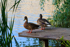 Ducks standing on a jetty on the lake Stock Photography