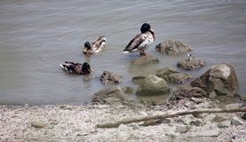 Ducks. Standing on rock in Danube Royalty Free Stock Photos