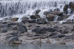 Ducks on banks of Idaho Falls. Ducks standing on rocky shores of Idaho Falls, Idaho Royalty Free Stock Photo