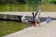 Ducks startled flying away Stock Photography