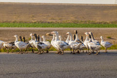 Ducks in street Royalty Free Stock Photo
