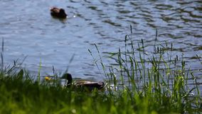 Ducks summer season lake day. Light stock footage