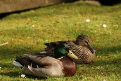 Ducks, sun, and grass - Bassin de la muette - France. Two ducks in the rest, in the grass, in front of a lake and in the sun. It is in France, to Elancourt in Royalty Free Stock Photography