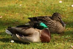 Ducks, sun, and grass - Bassin de la muette - France. Two ducks in the rest, in the grass, in front of a lake and in the sun. It is in France, to Elancourt in Stock Photos