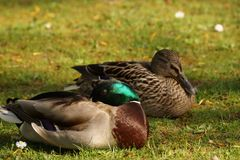 Ducks, sun, and grass - France. Two ducks in the rest, in the grass, in front of a lake and in the sun. It is in France, to Elancourt in the department of Royalty Free Stock Image