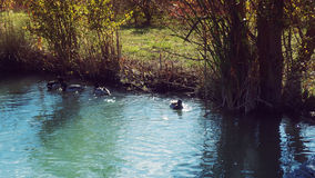 Ducks Sunbath. Duck in Natural Park Salburua Basque Country Spain stock photo