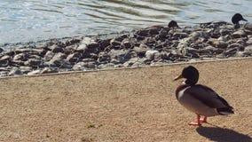 Ducks Sunbath. Duck in Natural Park Salburua Basque Country Spain Stock Photos