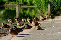 Ducks on wooden jetty Royalty Free Stock Photography